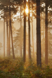 Sunrise in Coniferous Woodland. Gore Heath, Dorset, England, UK, September