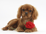 Ruby Cavalier King Charles Spaniel Pup, Flame, 12 Weeks Old, with a Red Rose
