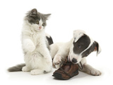 Blue-And-White Jack Russell Terrier Pup, Chewing a Shoe with Playful Blue-And-White Kitten