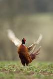 Male Pheasant (Phasianus Colchicus) Displaying, Hertfordshire, England, UK
