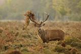 Red Deer (Cervus Elaphus) Stag Thrashing Bracken, Rutting Season, Bushy Park, London, UK, October