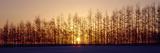 Winter Trees Hokkaido Japan