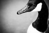 Canadian Goose IV