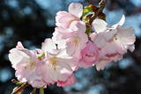 A Flowering Cherry Blossom