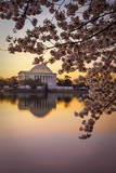 Cherry blossoms and the Jefferson Memorial, Washington DC, USA