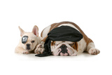 Dog Pirates - French and English Bulldog Dressed Up Like Pirates