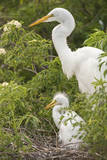 USA, Florida, Orlando. Great Egret and baby egret at Gatorland.