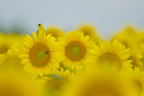 An American Goldfinch, Carduelis Tristis, on a Sunflower in a Field of Sunflowers