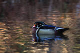 Portrait of a Male Wood Duck, Aix Sponsa, Resting in the Water