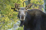 Backlit Moose (Alces Alces) Cow Stares at Camera in Evening Light