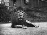 Sultan the Lion