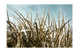 Grass and Reeds 6807