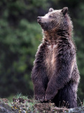 Standing Grizzly Bear
