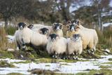 Black-Faced Sheep, Group in Snow, Scotland