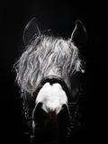 Frontal Head Portrait of Grey Horse