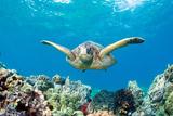 Sea Turtle Maui