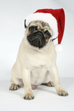 Fawn Pug Wearing Christmas Hat