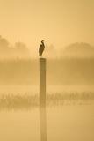 Grey Heron on Post in Misty Dawn
