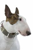 English Bull Terrier with Collar