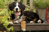 3 Month Old Bernese Mountain Dog Puppy On