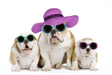 English Bulldog Adult and Puppies Wearing