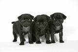 Three Black Pug Puppies (6 Weeks Old)