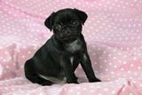 Black Pug Puppy (8 Wks Old)