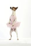 Jack Russell Terrier Dog Wearing a Tutu