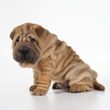 Shar Pei Puppy, Side View