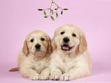 Golden Retriever Puppies (6 Weeks) Lying Down