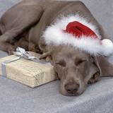 Weimaraner Asleep Wearing Christmas Hat