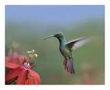 Green-breasted Mango hummingbird, male foraging, Costa Rica