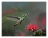 Rufous-tailed Hummingbird at Fairy Duster flower, Costa Rica