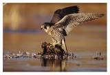 Peregrine Falcon adult in protective stance standing on downed duck, North America