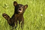 Black Bear Cub in Green Grass