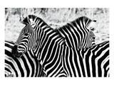 Zebras at Dawn
