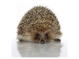 Young Hedgehog about 1 Year