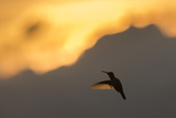 A Hummingbird Silhouetted Against a Mountain at Sunset