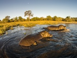 Aerial View of Hippopotamus at Sunset, Moremi Game Reserve, Botswana