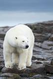 Polar Bear on Harbour Islands, Hudson Bay, Nunavut, Canada