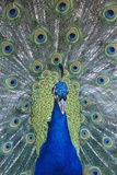 Peacock Displaying Feathers, Close-Up