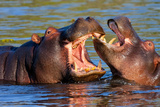 Game Two Young Hippopotamus, Hippopotamus Amphibius,