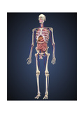Human Skeleton with Organs and Circulatory System