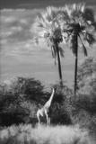 Botswana, Giraffe, Giraffa Camelopardalis