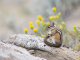 Wyoming, Sublette County, Least Chipmunk with Front Legs Crossed