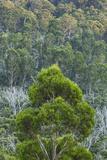 Australia, Kosciuszko National Park, Thredbo, Landscape with Trees