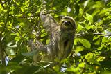 Central America, Costa Rica. Male Juvenile Three Toed Sloth in Tree