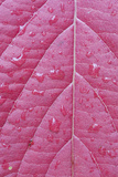 Wyoming, Sublette County, Venation Pattern on Red Leaf with Raindrops