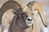 USA, Wyoming, National Elk Refuge, Bighorn Sheep Ram Head Shot