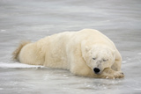 Polar Bear Asleep on Sea Ice at Churchill, Manitoba, Canada